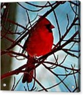 Red White And Blue Cardinal Acrylic Print