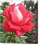 Red-white Rose Acrylic Print