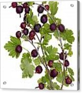Red Wild Forest Berries Acrylic Print