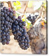 Red Wine Grapes Growing On Old Grapevine Acrylic Print
