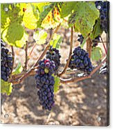 Red Wine Grapes Hanging On Grapevines Acrylic Print