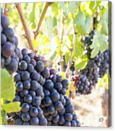 Red Wine Grapes Hanging On Grapevines Vertical Acrylic Print