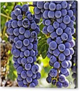 Red Wine Grapes Hanging On The Vine Acrylic Print