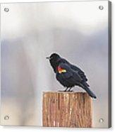 Red Wing Black Bird On Post II Acrylic Print