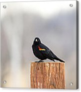 Red Wing Black Bird On Post IIi Acrylic Print