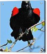 Red Wing Blackbird 1 Acrylic Print