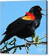 Red Wing Blackbird 2 Acrylic Print