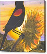 Red-wing Blackbird Acrylic Print