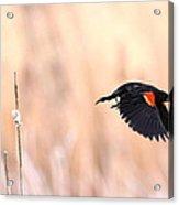 Red-wing Blackbird In Flight Acrylic Print