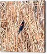 Red Wing Blackbird  Acrylic Print