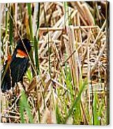 Red-wing Hiding Acrylic Print
