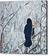 Red Wing Perched Acrylic Print