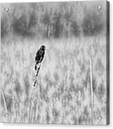 Red-wing Singing In The Marsh Acrylic Print