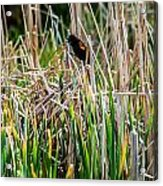 Red-winged Black Bird In The Cattails Acrylic Print