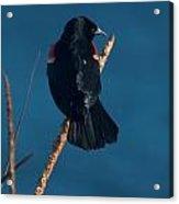 Red Winged Black Bird Acrylic Print