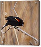 Red Winged Blackbird 1 Acrylic Print by Ernie Echols