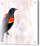 Red-winged Blackbird - Colors Acrylic Print