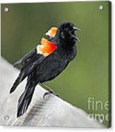 Red-winged Blackbird Display Acrylic Print