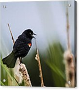 Red Winged Blackbird Singing Acrylic Print