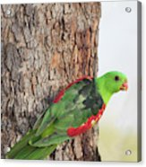 Red-winged Parrot Acrylic Print