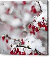 Red Winter Berries Under Snow Acrylic Print