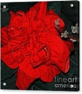 Red Winter Rose Acrylic Print