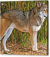 Red Wolf Acrylic Print