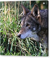 Red Wolf On The Hunt Acrylic Print