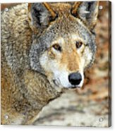 Red Wolf Portrait Acrylic Print