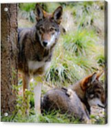 Red Wolves Acrylic Print