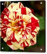 Red Yellow Rose Acrylic Print