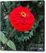 Red Zinnia 2 Acrylic Print