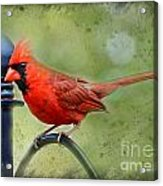 Redbird Alert Acrylic Print