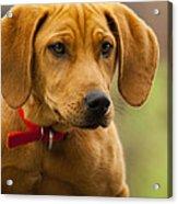 Redbone Coonhound - Man's Best Friend The Hound Dog Acrylic Print