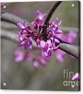 Redbud Blossom Acrylic Print