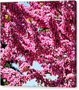 Redbud In Bloom Acrylic Print
