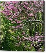 Redbud In The Woods Acrylic Print