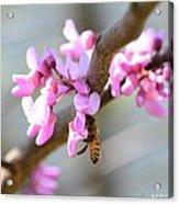 Redbud Pollinator Acrylic Print
