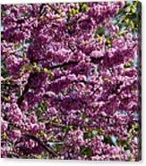 Redbud Tree In Blossom Acrylic Print