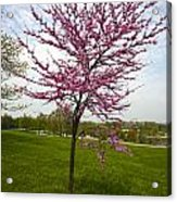 Redbud Tree Acrylic Print by John Holloway