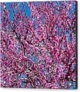 Redbud Tree With Dense Blossoms Acrylic Print
