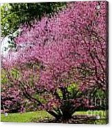 Redbuds In Action Acrylic Print