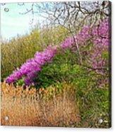 Redbuds In Bloom Acrylic Print