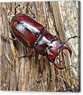 Reddish-brown Stag Beetle - Lucanus Capreolus Acrylic Print
