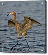 Reddish Egret Doing Fishing Dance Acrylic Print