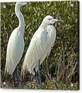 Reddish Egret Egretta Rufescens Pair Acrylic Print