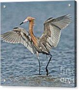 Reddish Egret Fishing Acrylic Print