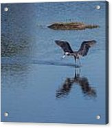 Reddish Egret Looking For Lunch Acrylic Print