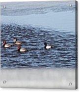 Redhead And Scaups Ducks Acrylic Print