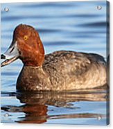 Redhead Duck At St. Mark's Acrylic Print